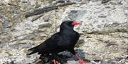Chough are resident year-round and can easily be seen and heard (along with their larger cousins, Ravens).