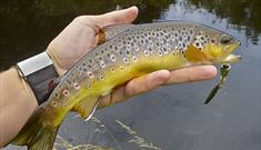 A wild Manx brown trout
